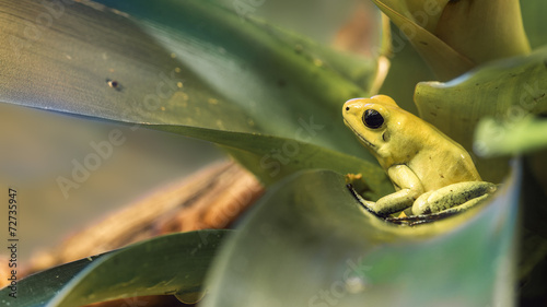 Foto op Canvas Kikker Golden poison dart frog