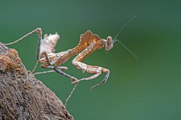 Dead Leaf Praying Mantis