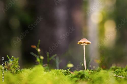 Leinwanddruck Bild Small mushroom at forest floor during autumn