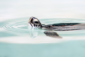 Baby Green Turtle in clear blue ocean