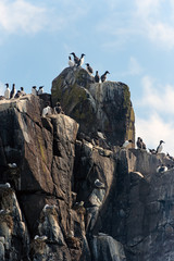 Guillemot & Herring Gull nesting on Farne Islands