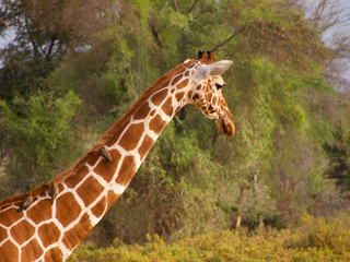 RETICULATED GIRAFFE WITH OXPEKER