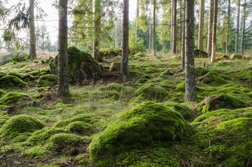 Bright and mossy coniferous forest