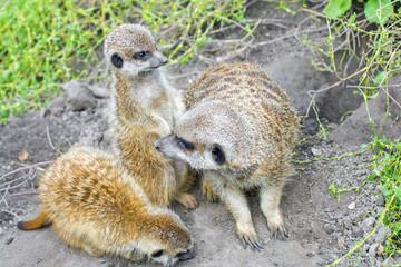Meerkat (Suricata suricatta) baby on the ground