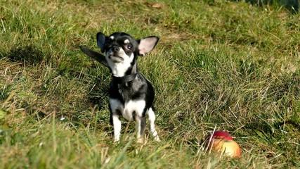 Funny small dog