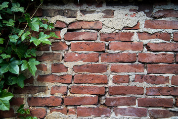 Alte Mauer *** Efeu-1
