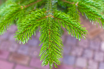 Coniferous trees on sale outdoors