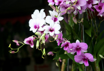 Purple orchid flowers with shallow depth