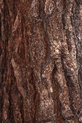 Ponderosa Pine bark detail