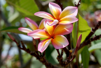 Beautiful tropical flowers pink Plumeria against a natural backg