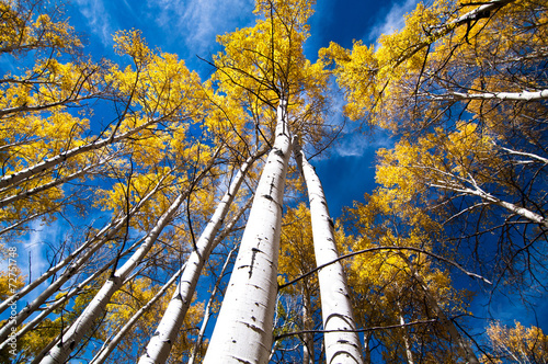 Poster Landschappen look up aspen trees