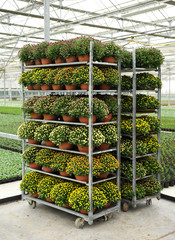Racks of potted chrysanthemums