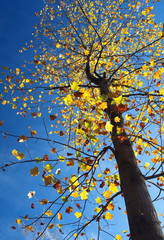 Big tree and yellow leaf in autumn season