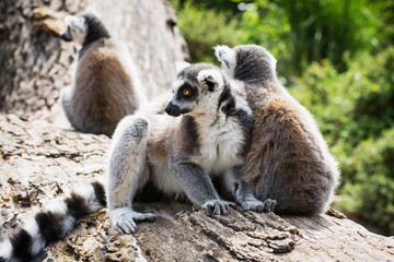 Group of Ring-tailed lemurs resting on the tree trunk