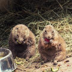 Black-tailed prairie dogs feeding