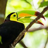 Portrait of Keel-billed Toucan bird