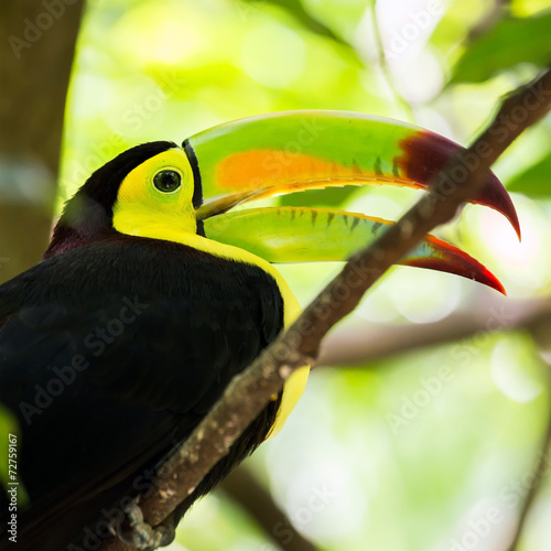 Fotobehang Toekan Portrait of Keel-billed Toucan bird