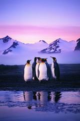4 пингвина