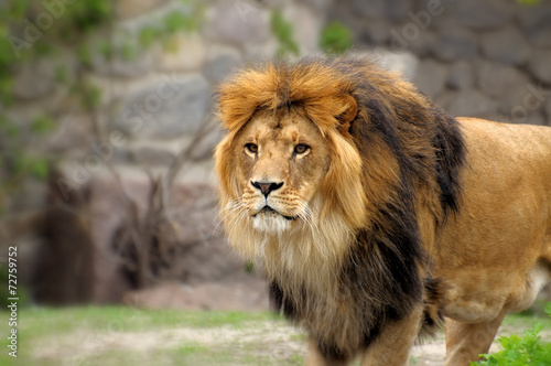 Staande foto Leeuw Lion.