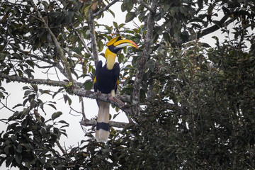 Great hornbill (Buceros bicornis) in nature