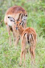 A wild baby Impala antelope feeding on wet grass in the rain