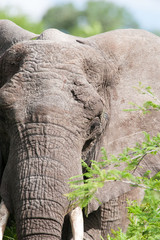 A portrait of a large wild African Elephant eating leaves
