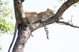 A large wild Leopard resting in a tall Marula tree