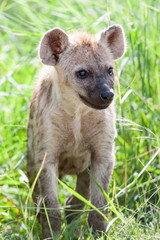 A wild baby Spotted Hyena standing next to its den