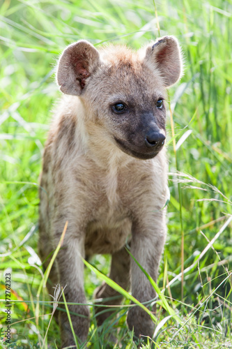 Deurstickers Hyena A wild baby Spotted Hyena standing next to its den