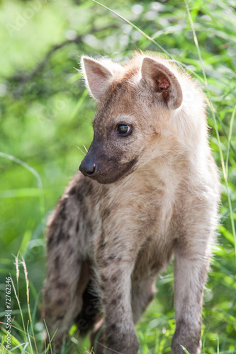 Foto op Canvas Hyena A wild baby Spotted Hyena standing next to its den