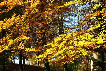 Buchenzweig - Laubfärbung im Herbst