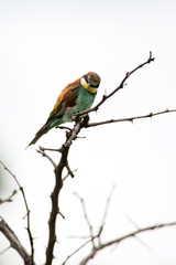 A wild European Bee Eater bird perched in the rain