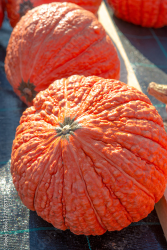 canvas print picture indian pumpkin