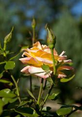 Bush of yellow roses