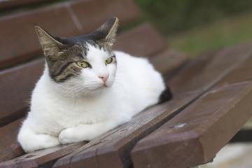 İri Kedi