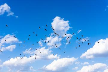 South Korea's migratory geese
