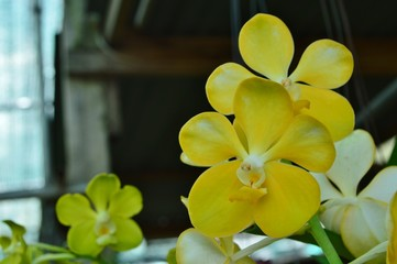 Yellow Venda Orchid