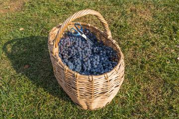 Fresh grape in basket