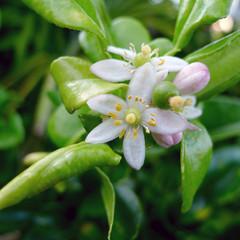 Combava ou combawa, fleur, jardin créole, La Réunion