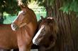 Cavalli Curiosi