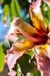 flower Chorisia speciosa