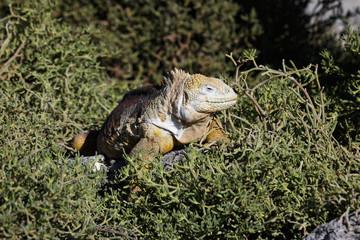 Iguana terrestre de Galapagos sobre planta suculenta