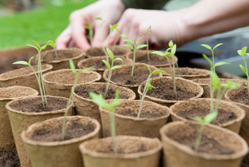 Young Seedlings in jiffy pots