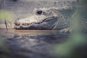 Crocodile nain