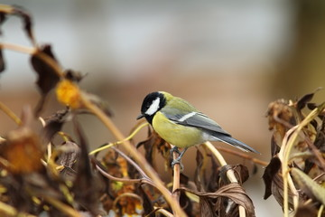 great tit in the garden