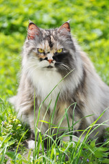 fat persian cat sitting on the green grass