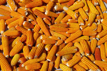 Maïs 1
