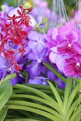 Orchid flowers - Pink and Purple