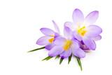 crocus on white background - fresh spring flowers - Fine Art prints