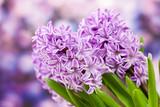 Fototapety blooming hyacinth flowers (hyacinthus)